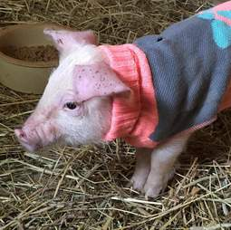 Piglet saved from highway in dog sweater