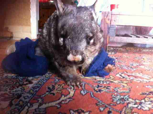 Rescued wombat
