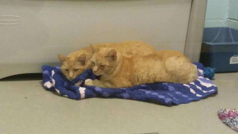 Senior cat brothers left at shelter