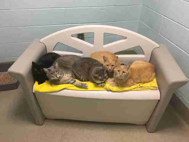 Senior cat brothers with other adoptable cats at shelter