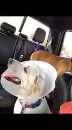 dog with cone in back of truck