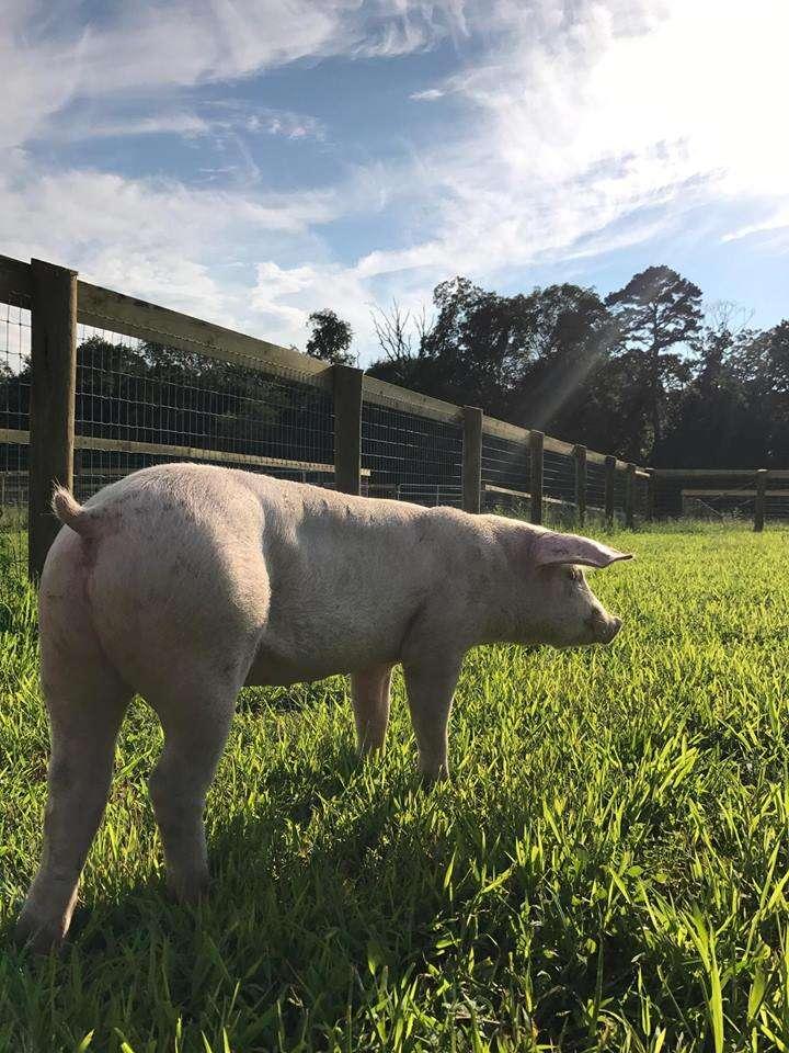Rescue piglet in grassy field