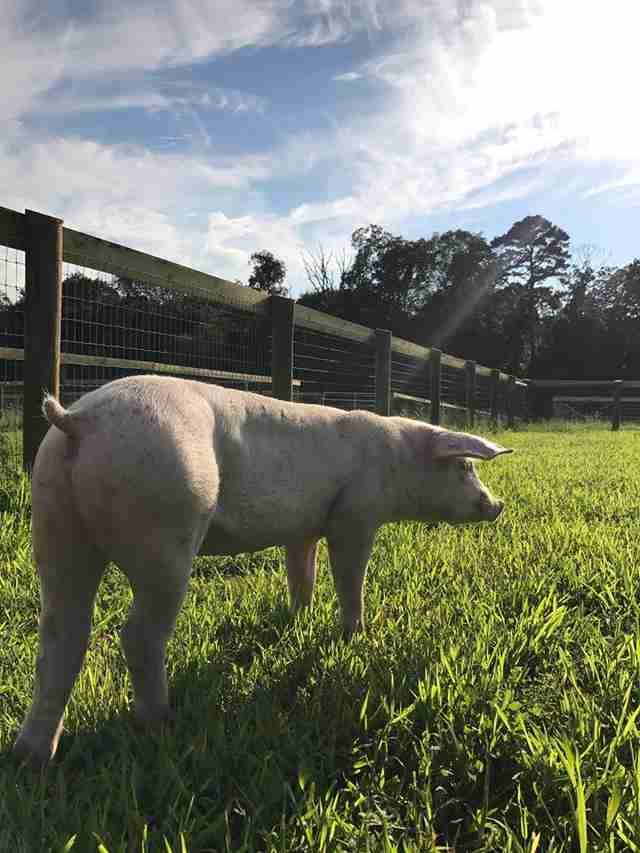 Rescue piglet in grassy field