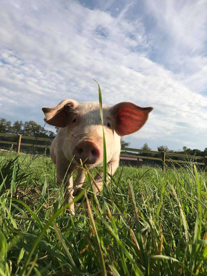 Piglet in grassy field