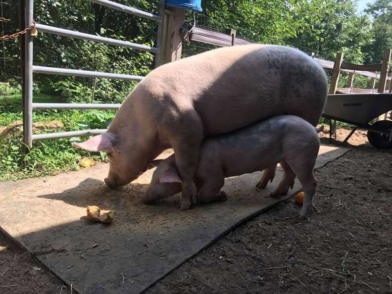 Big pig and small pig together
