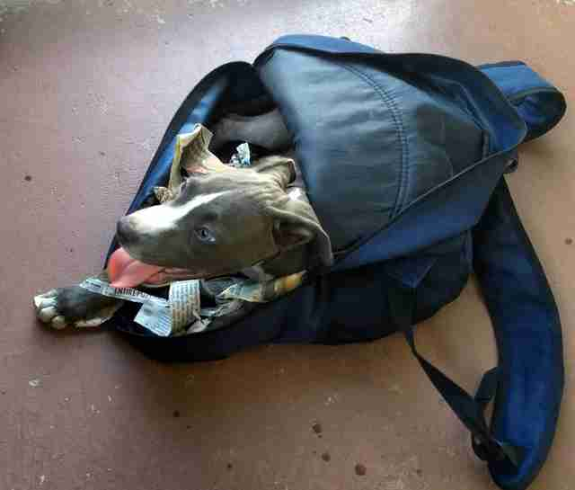 pit bull puppy found in backpack