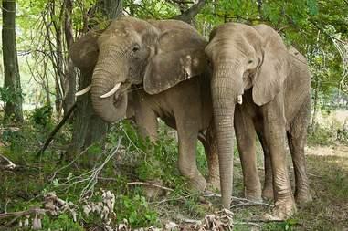 Two elephants in greenery