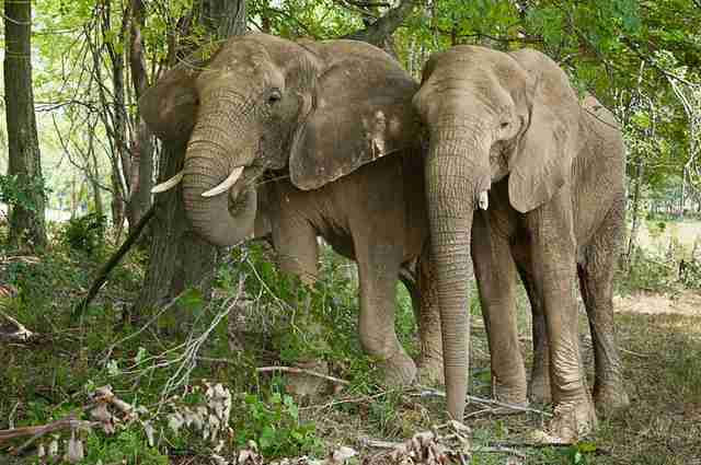 Two elephants in greenery