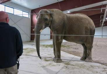 Adult elephant in inside enclosure