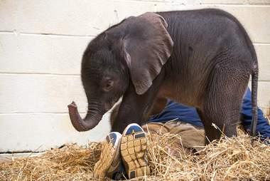 Baby elephant in straw
