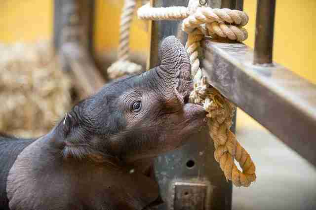 Baby elephant playing with rope