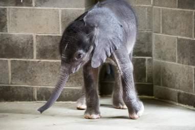 Baby elephant in enclosure