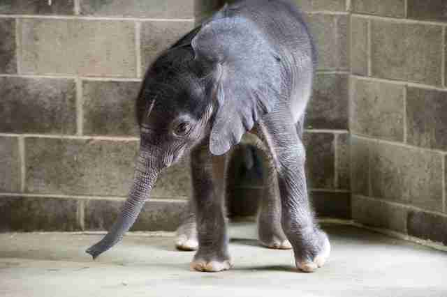 Baby elephant in enclosure