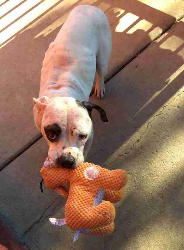 Rescue dog with stuffed toy