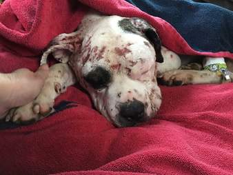 Rescued dog wrapped in blanket