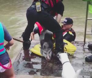 pet pig rescued from hurricane floods