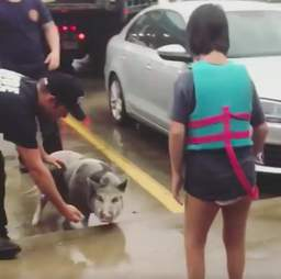 Pig saved from hurricane