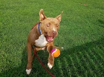 Shelter pit bull plays with tennis ball