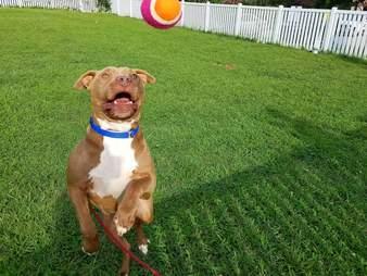 Dog enjoying tennis ball at shelter