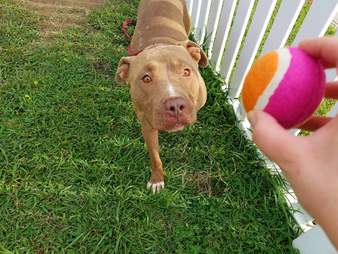 Shelter pit bull and tennis ball