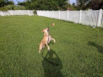 Shelter dog enjoying tennis ball