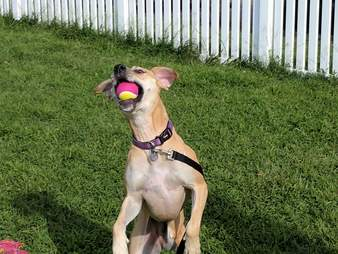 Shelter dog with tennis ball