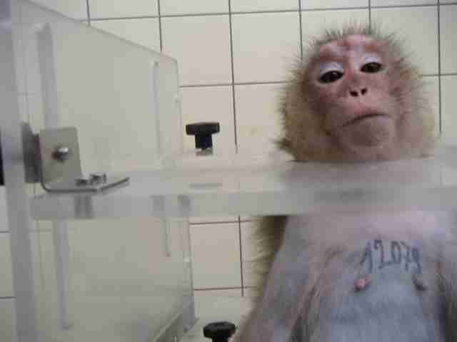 Monkey in testing lab