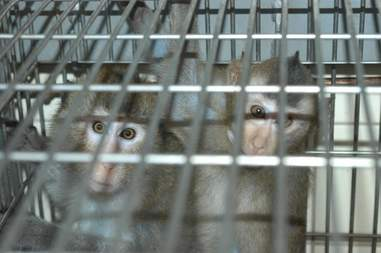 Macaque monkeys in cage at lab
