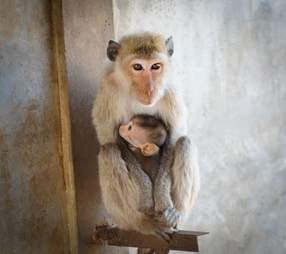 Captive macaques in breeding facility