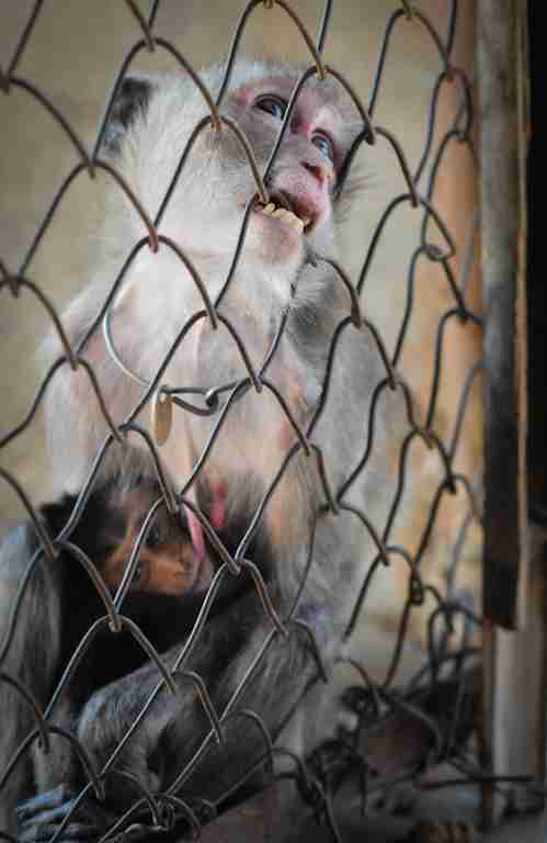 Captive macaques at breeding facility