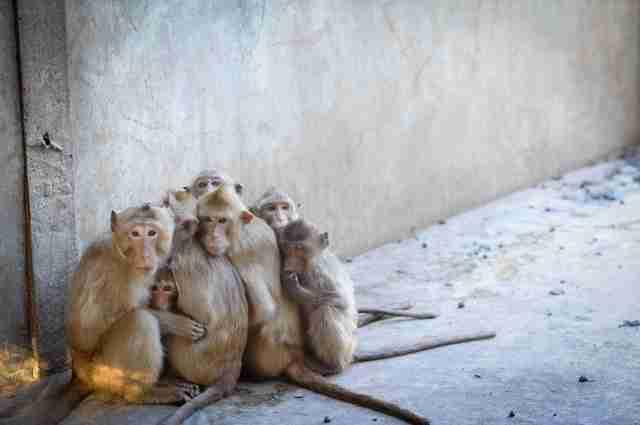 Captive macaque monkeys at breeding farm