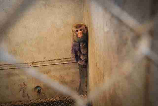 Captive macaque in breeding facility