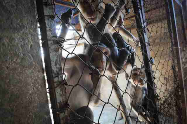 Macaques in breeding facility in Laos