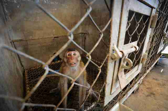 Macaque in breeding facility