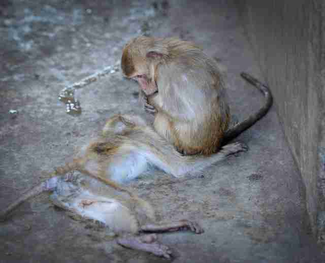 Captive macaque mourning dead friend