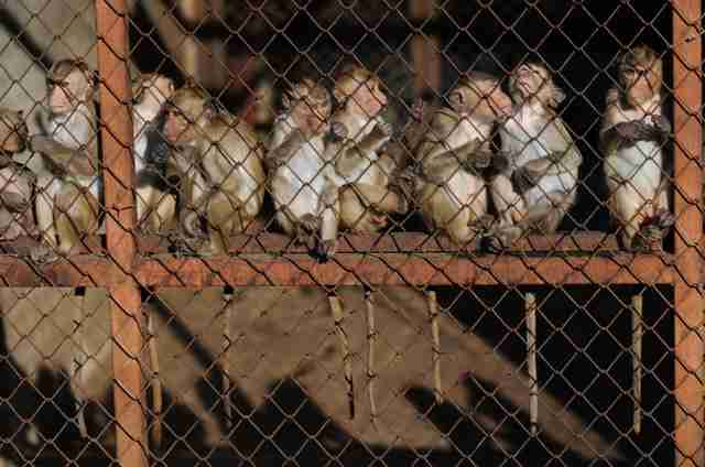Caged macaques at breeding facility in Laos