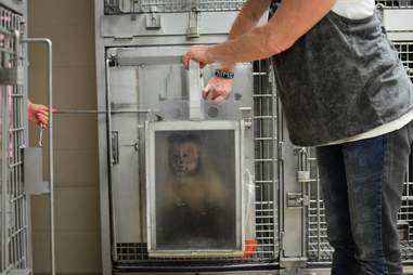 Monkey being rescued from lab