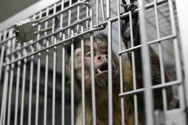 Monkey in cage in testing lab