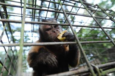 Rescued capuchin in sanctuary