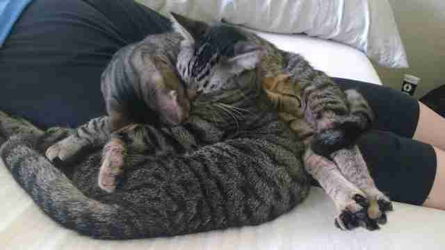 Bonded cat brothers snuggle in foster home