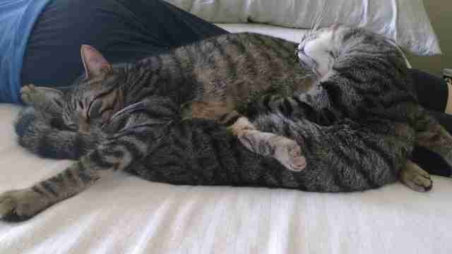 Bonded cat brothers snuggling in foster home