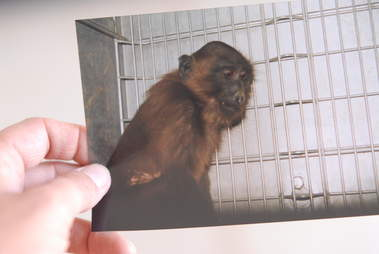 Photo of monkey in lab