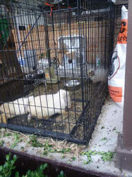 Neglected rabbits in dog crate