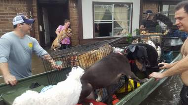 People rescuing dogs in flood