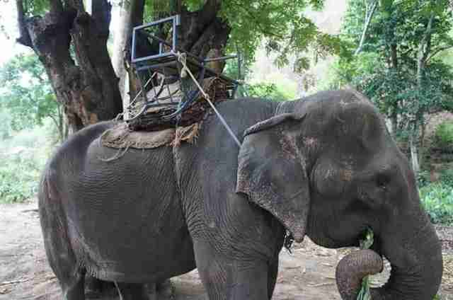 Elderly elephant forced to give rides