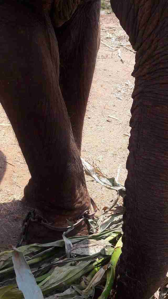 Elephant chained with spiked bracelet