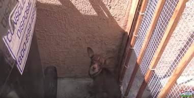 abandoned chihuahua
