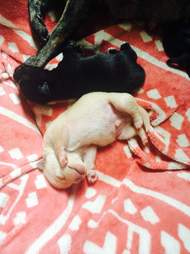 Chihuahua puppies saved from the streets