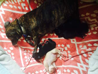 Foster Chihuahua with her puppies