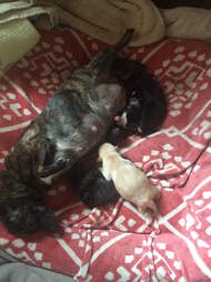 Foster Chihuahua nursing her puppies